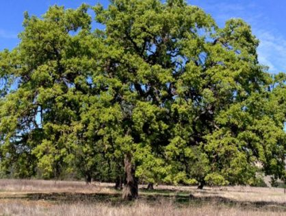 Genetics can play key role in saving trees